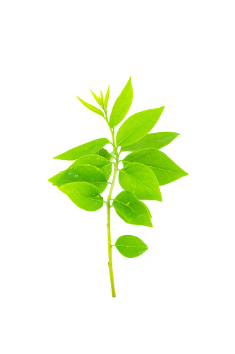 Star Gooseberry Leaf Isolated On White Background Stock Photo - Download Image Now
