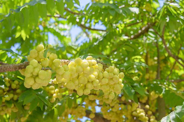 star gooseberry auf baum - dextrose stock-fotos und bilder