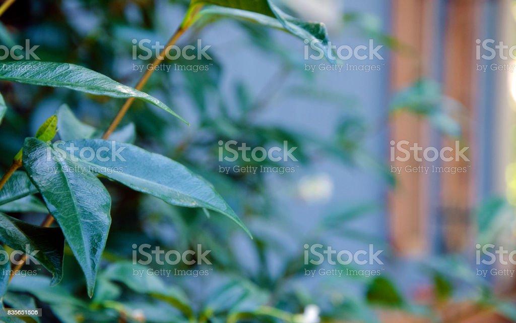 Star Jasmine climbing in a garden stock photo