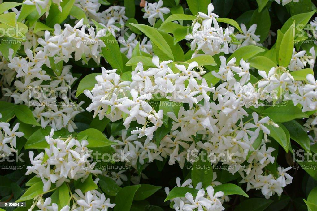 Star jasmine in the rain stock photo