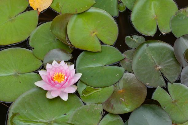 sterne lotus (nymphaea nouchali) - wasserlilien stock-fotos und bilder