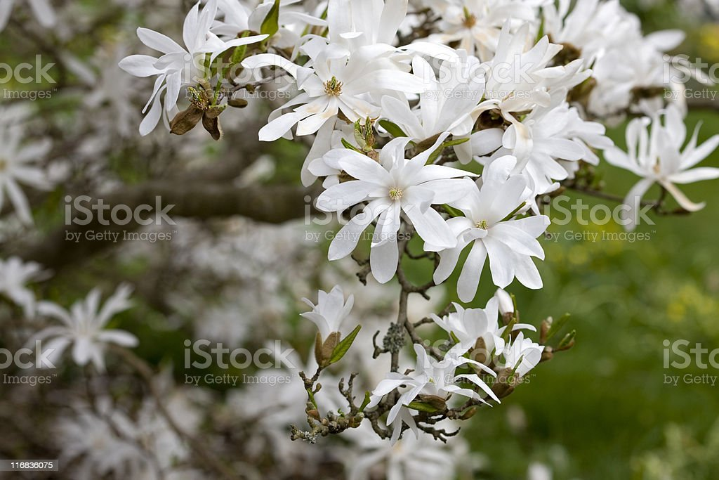 Star Magnolia (M. stellata) royalty-free stock photo