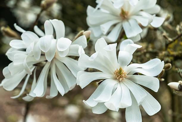 Star Magnolia stock photo