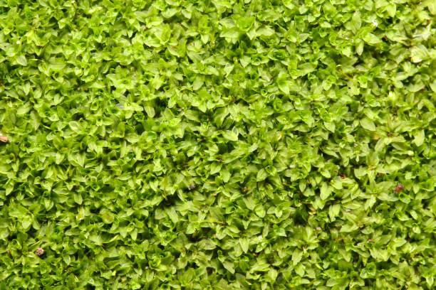 Star moss background stock photo