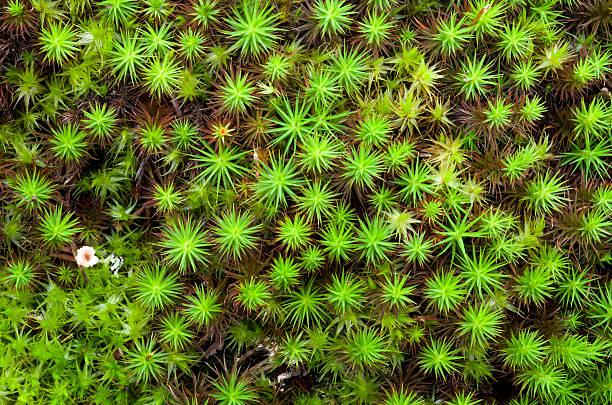 star moss - sternmoos stock-fotos und bilder