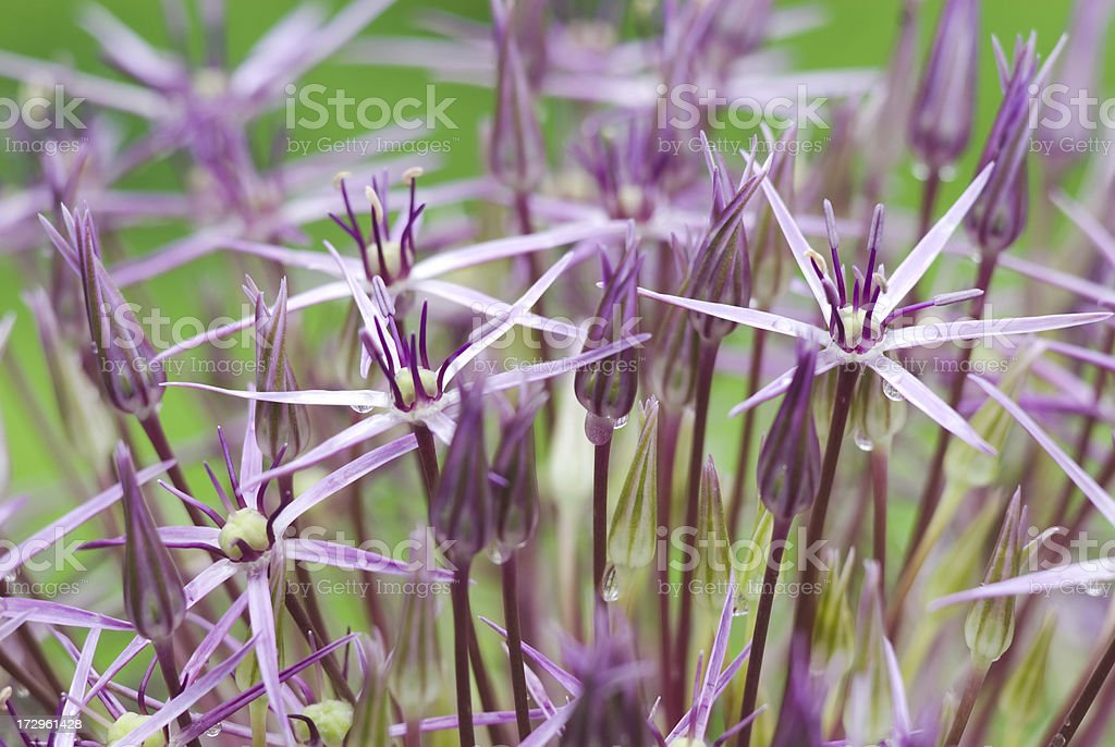 Star of Persia (Allium christophi) ornamental onion - I royalty-free stock photo