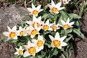 Multi-Colored tulip in a garden (Waterlily Tulip - Tulipa kaufmanniana).