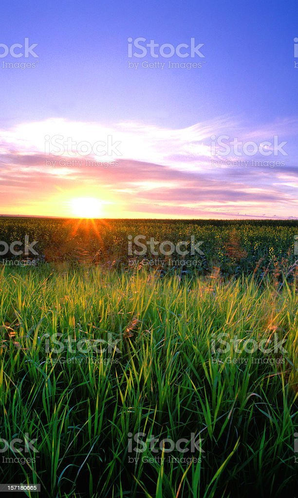 Starburst sunrise over wheat field stock photo