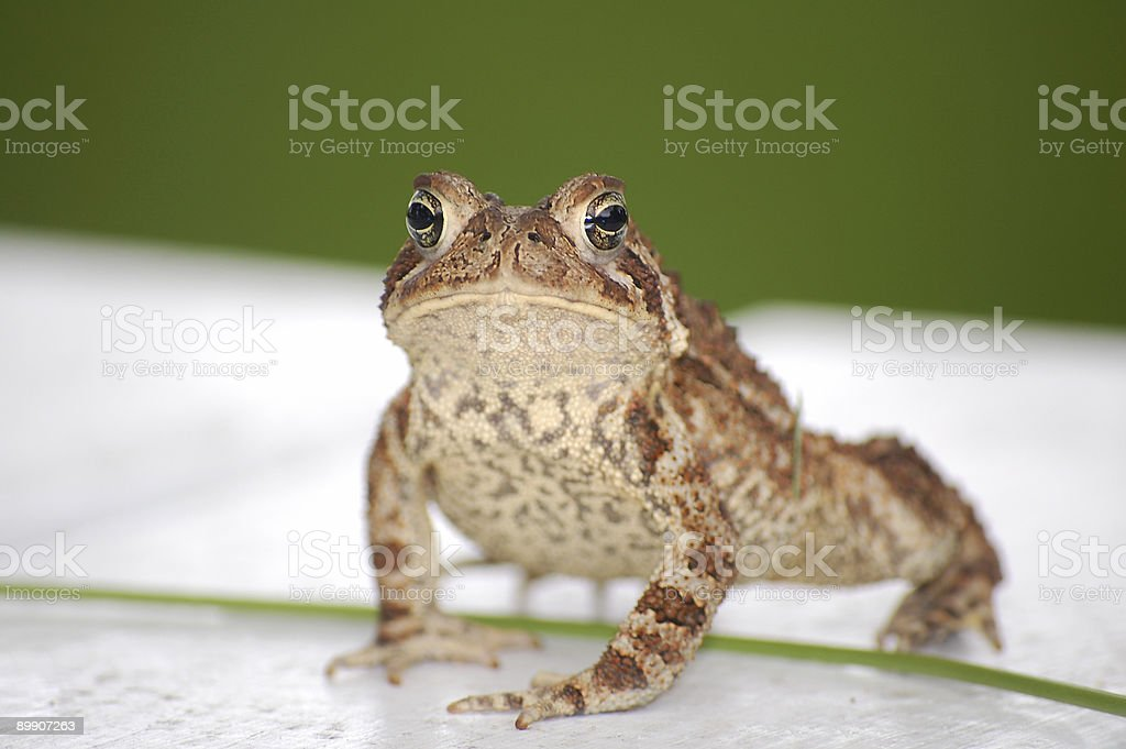 Stare Down royalty-free stock photo
