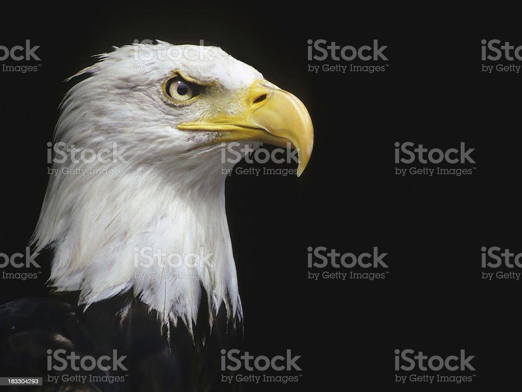 Stare of a Bald Eagle stock photo