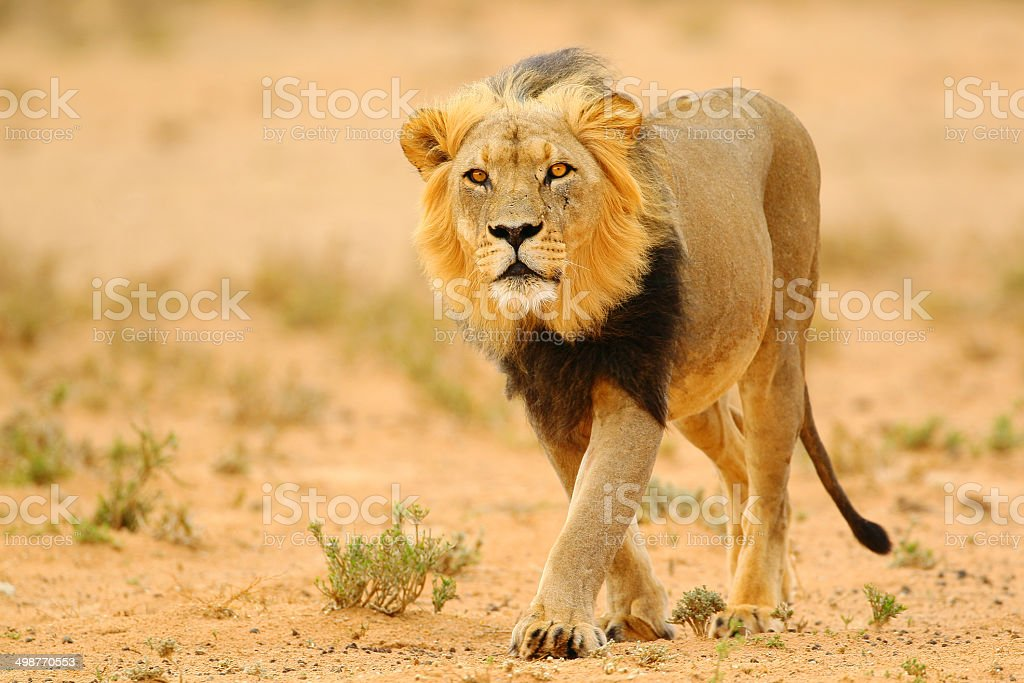 Stare of a lion stock photo