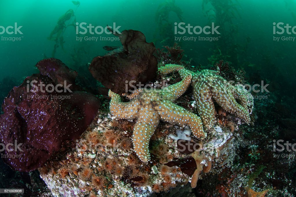 Starfish and Kelp Forest stock photo