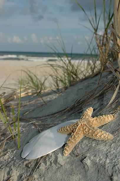 seestern und sand dollar - sanddollars stock-fotos und bilder