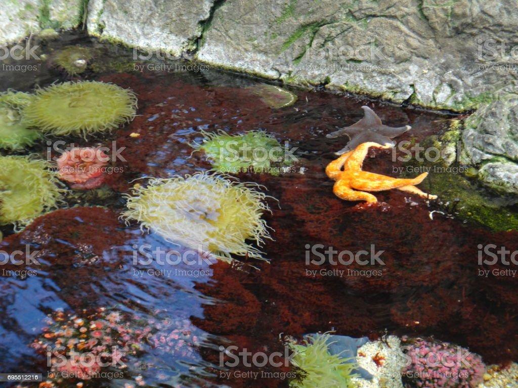 Starfish and sea anemones stock photo