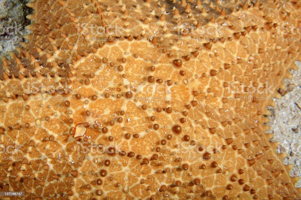 Starfish Closeup royalty-free stock photo
