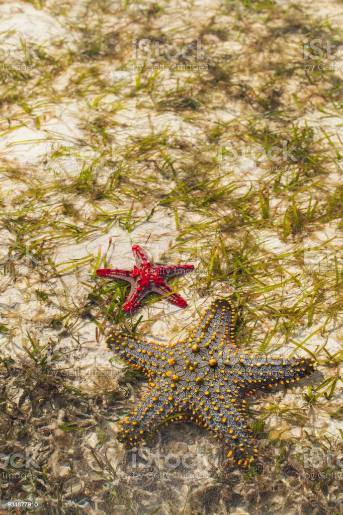 Starfish (Asteroidea) in Indo Pacific Ocean stock photo
