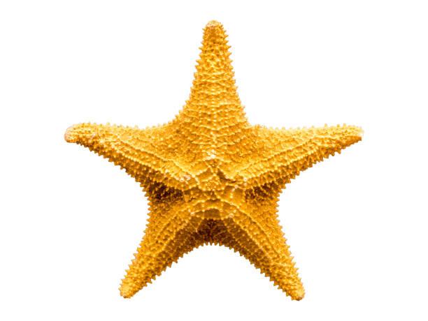 Estrela-do-mar isolado no fundo branco - foto de acervo