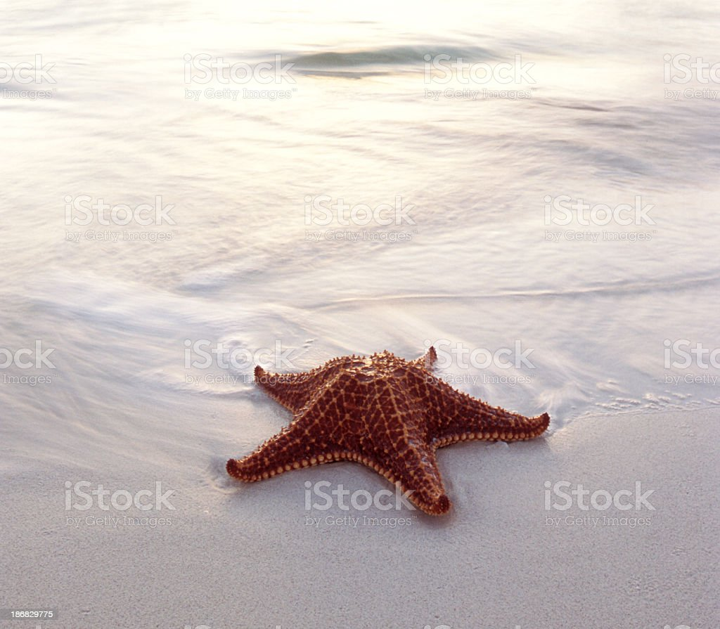 A starfish laying on a clean sandy beach royalty-free stock photo