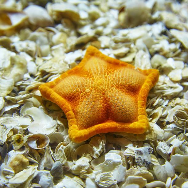 A starfish lying on shells in the Istanbul aquarium. – Foto