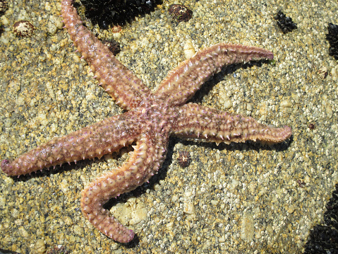 Sjöstjärna På En Sten-foton och fler bilder på Akvatisk organism