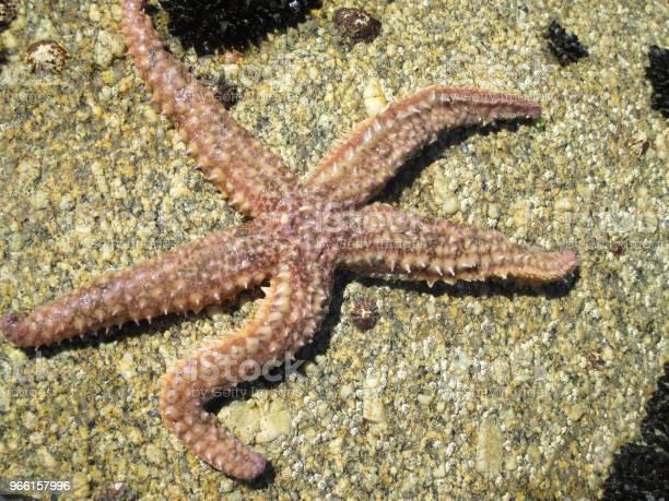 Морская Звезда На Скале — стоковые фотографии и другие картинки Без людей