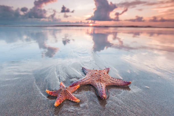 Starfish on beach Two starfish on the beach and beautiful sunset over sea starfish stock pictures, royalty-free photos & images
