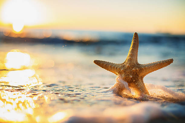 Starfish on the beach at sunrise Sea Starfish on the beach at sunrise starfish stock pictures, royalty-free photos & images
