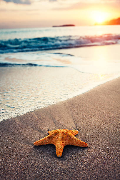 Starfish On The Beach Starfish on the sandy beach at sunrise. starfish stock pictures, royalty-free photos & images