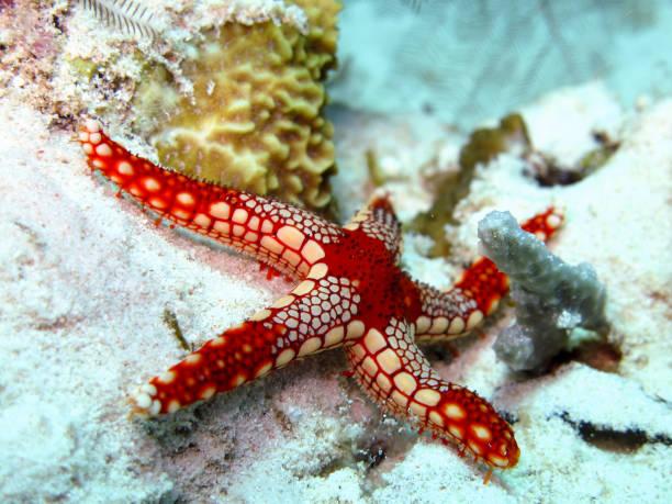 starfish on the reef in sipadan, malaysian borneo. - immerse in the stars foto e immagini stock
