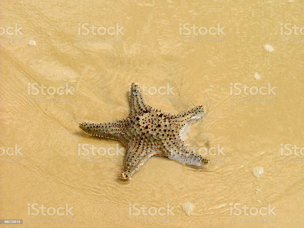 Starfish on the sand in shallow water royalty-free stock photo
