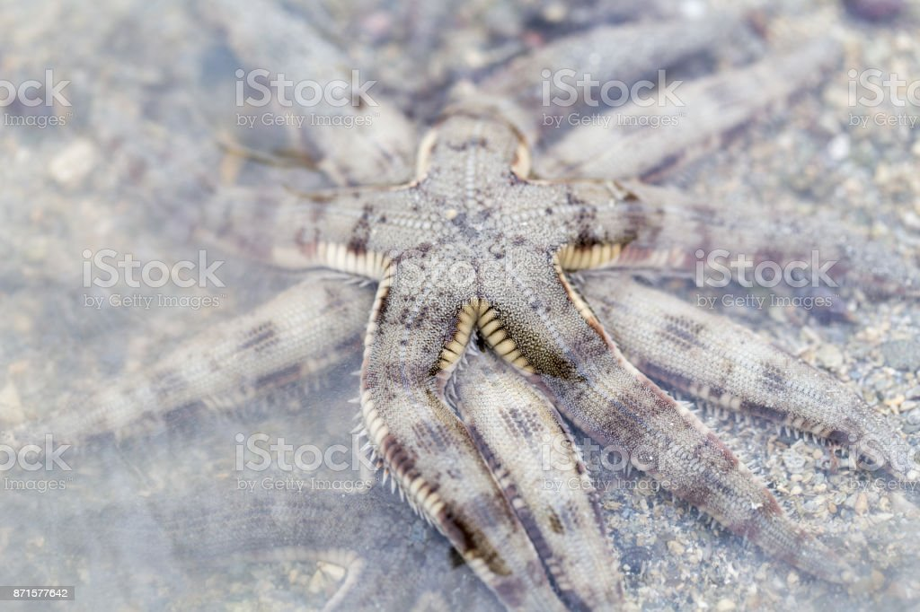 Starfish or sea stars are star-shaped echinoderms belonging to the class Asteroidea. stock photo