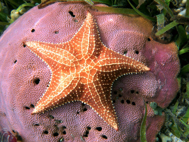 Starfish over massive coral Underwater starfish, Oreaster reticulatus, over massive starlet coral in the Caribbean sea starfish stock pictures, royalty-free photos & images