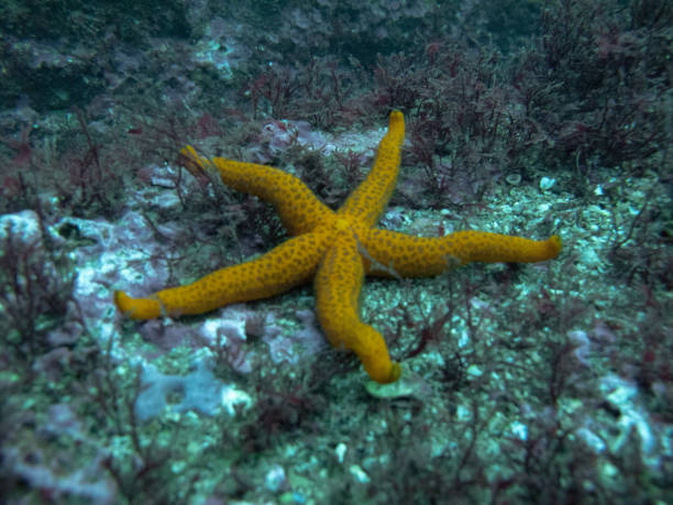 A starfish (Asteroidea) perched on the seabed on the shores of Gijón, Asturias (Spain) stock photo