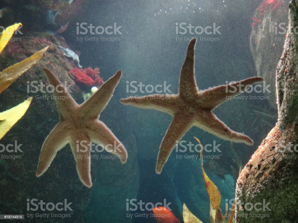 Étoile de mer photo libre de droits