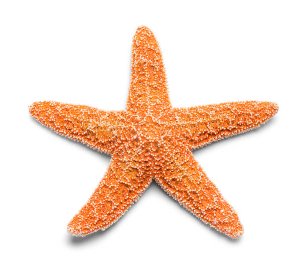 Starfish Sinlge Real Orange Starfish Isolated on White Background. starfish stock pictures, royalty-free photos & images