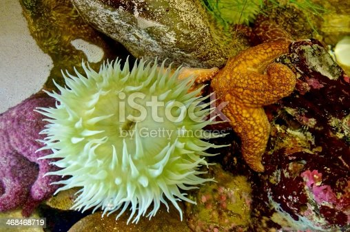 Tide Pool with orange and purple sea stars (Starfish), green Anemone and other tidal pool ocean life.
