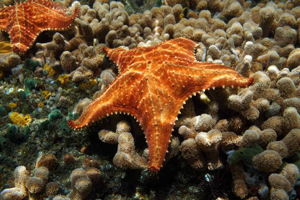 Starfish underwater over coral seabed stock photo
