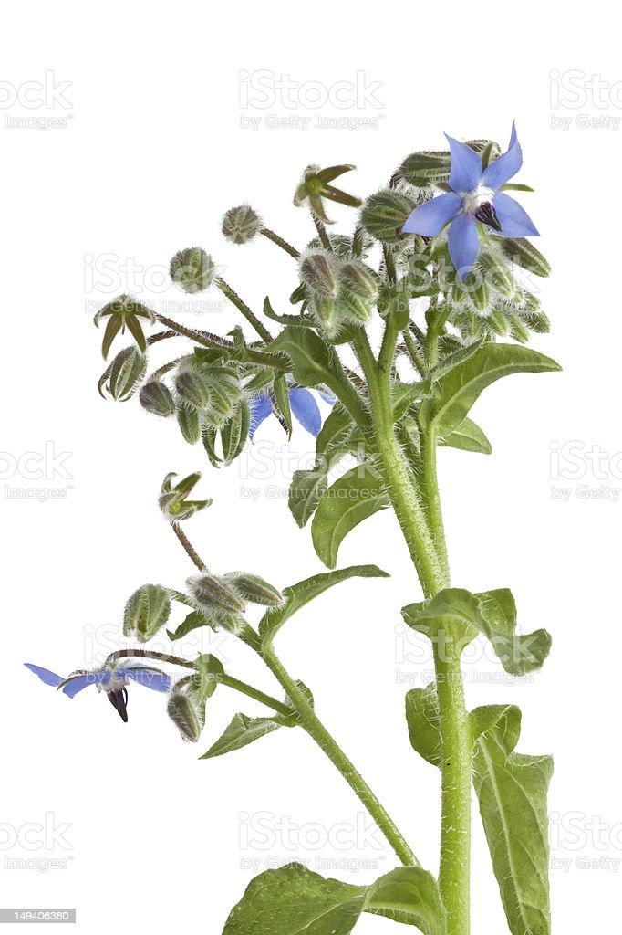 Starflower (Borage) isolated on white background royalty-free stock photo