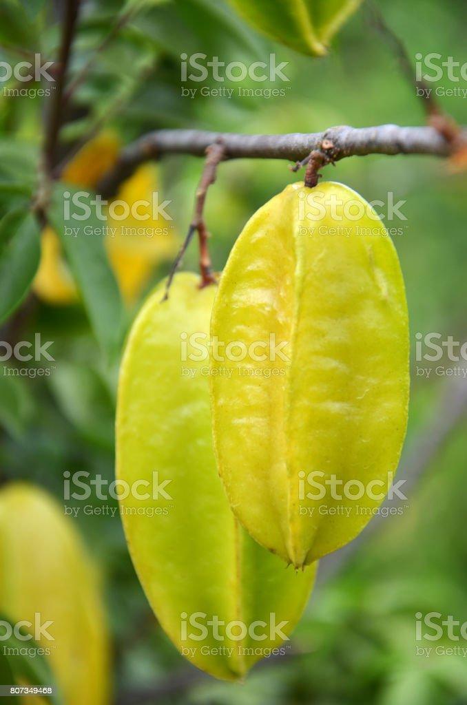 Starfruit on the tree stock photo