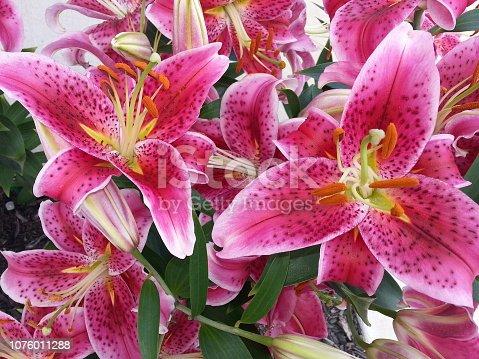 Georgous Lilies