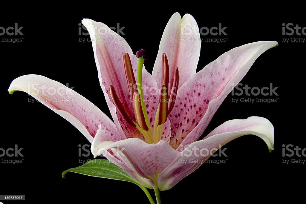 Stargazer Lily 3 royalty-free stock photo
