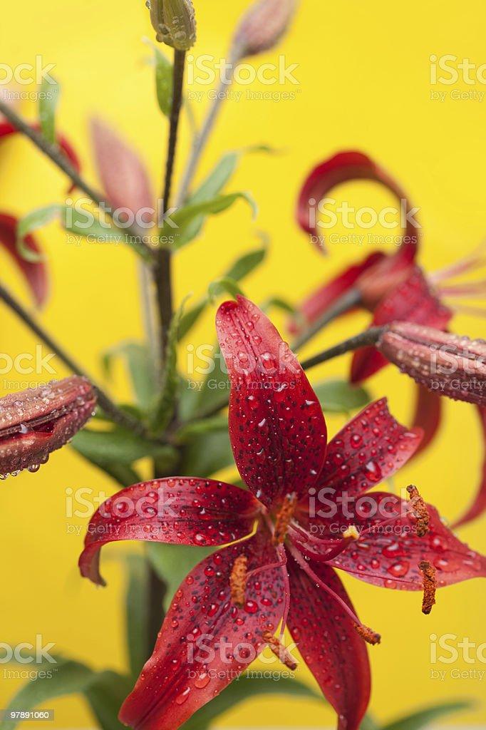 Stargazer Lily on Yellow royalty-free stock photo