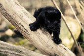 Staring black amur leopard cub on the tree
