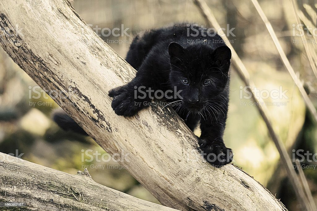 Staring black amur leopard cub on the tree stock photo