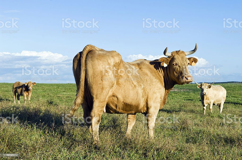 Staring cow royalty-free stock photo
