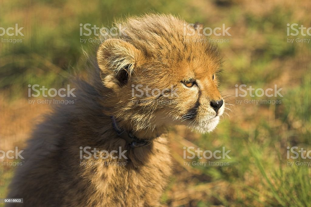 Staring Cub royalty-free stock photo