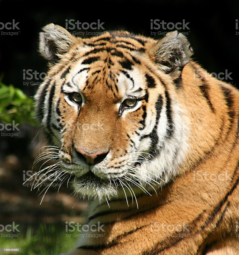 Staring Down a Tiger royalty-free stock photo