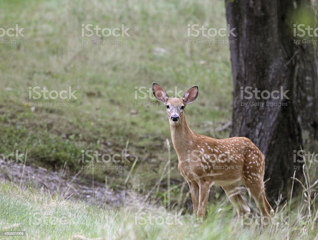 Staring Fawn royalty-free stock photo