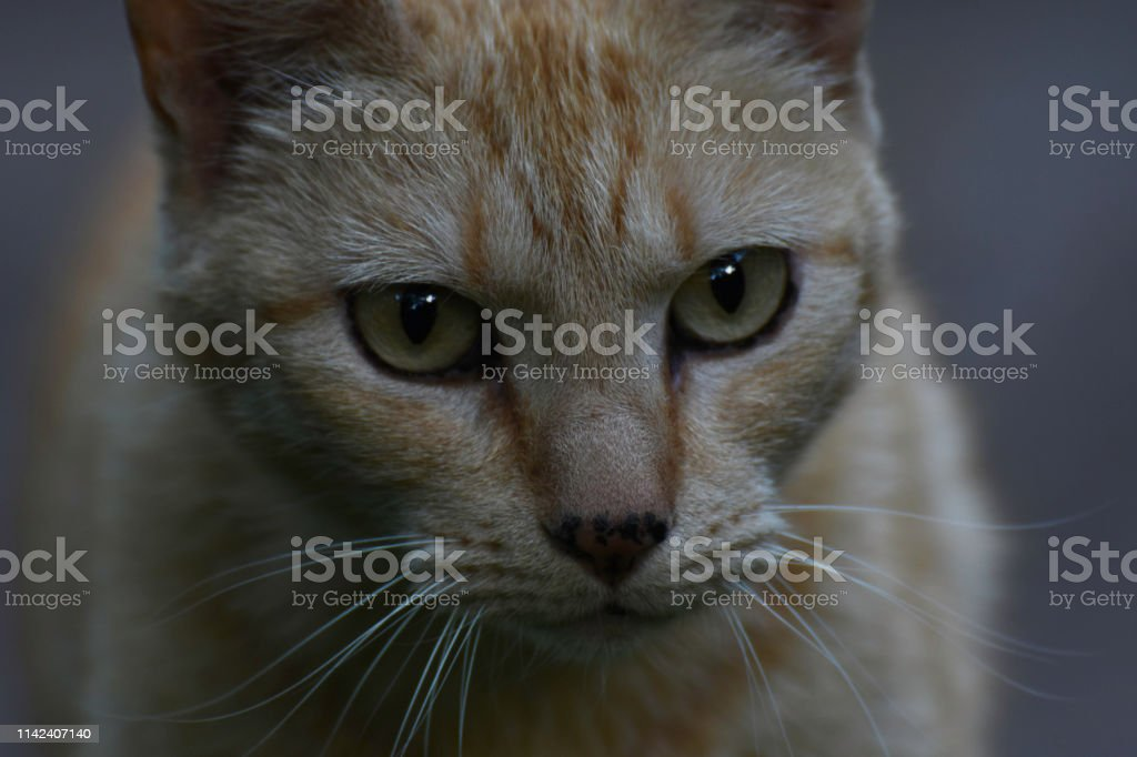 Staring Ginger Tabby Cat Face Close-up Portrait stock photo