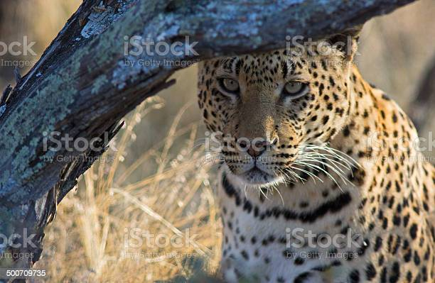 Photo of Staring Leopard